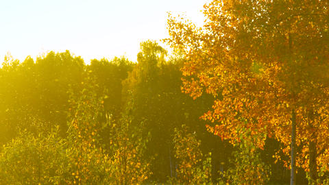 autumn mood of golden birch tree on glade in warm evening Footage