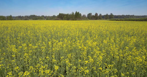 back motion over yellow rape flowers on long stems in field GIF