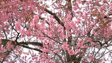 Spring blossoming at park with cherry blossom blooming tree Live Action