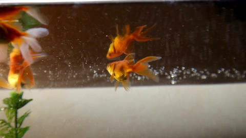 Gold fish Footage