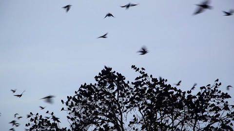 crow Stock Video Footage