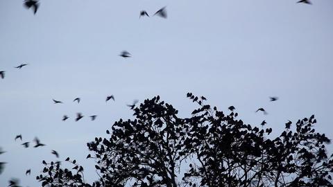 crow Footage
