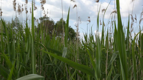 Reed Stock Video Footage