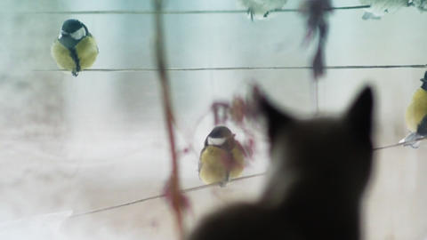Cat and birds Stock Video Footage