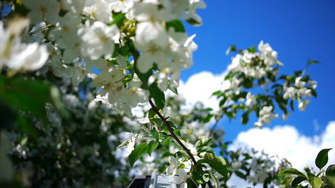 Dolly of apple tree 8 Stock Video Footage