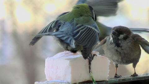 Fights of birdies 4 Footage