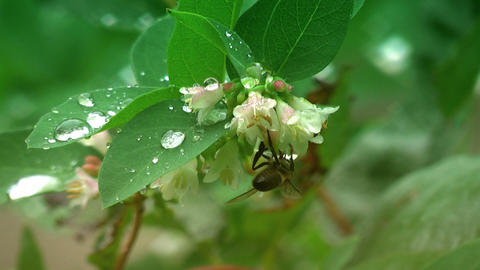 Honey bee and dew Stock Video Footage