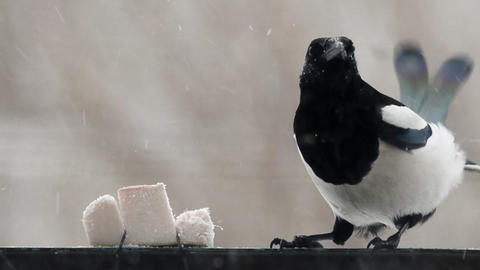 Magpie 3 Stock Video Footage