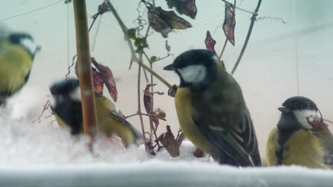 Winter birds 003 Footage