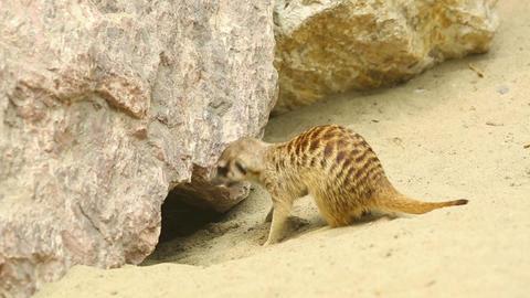 Meerkats Footage