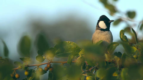 White-eared Bulbul Stock Video Footage