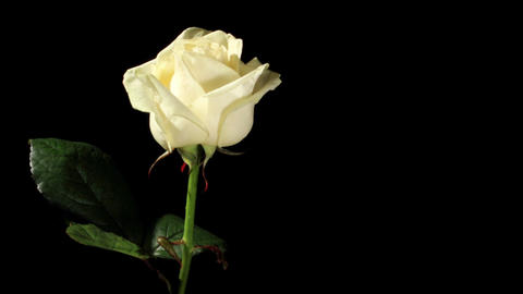 Blooming white roses on the black background, timelapse Stock Video Footage