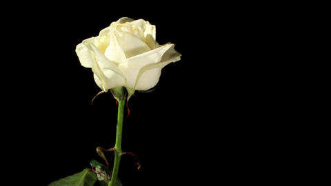 Blooming white roses on the black background, timelapse Footage