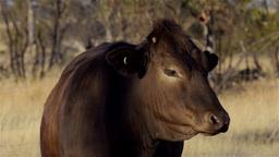 Cow on an Australian Farm Stock Video Footage
