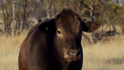 Cow on an Australian Farm Stock Video Footage