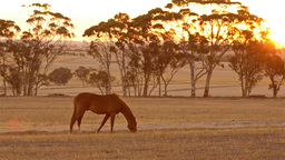 Horse Grazing at Sunset Stock Video Footage