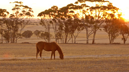 Horse Grazing at Sunset Footage