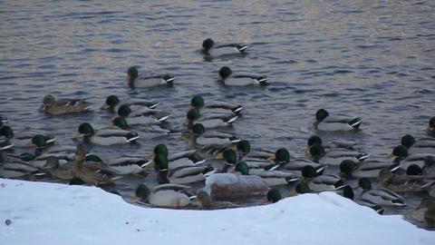 Mallard ducks swimming 02 Stock Video Footage