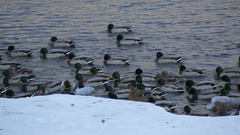 Mallard ducks swimming 02 Stock Video Footage