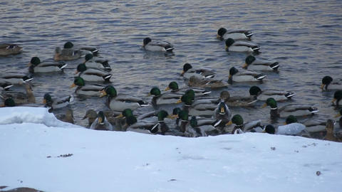 Mallard ducks swimming 02 Footage