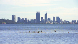 Black Swans on the River with Perth City in the Background Stock Video Footage