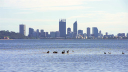 Black Swans On The River With Perth City In The Background stock footage
