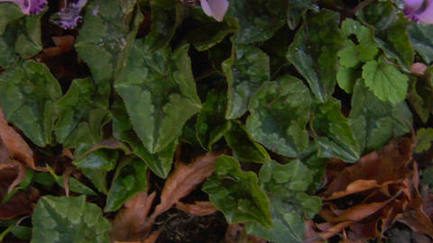 cyclamen 01 Stock Video Footage