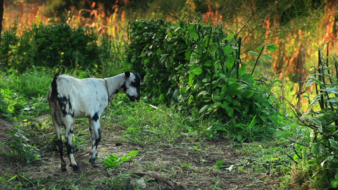 Leashed goat grazing in Kenya Footage