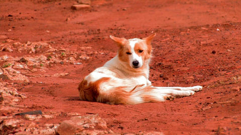 African dog lying in the dirt looking around Footage