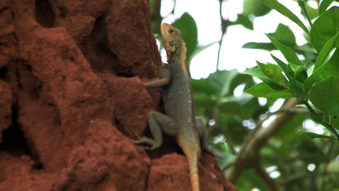 African lizard sitting on a large termite hill in Ghana Footage