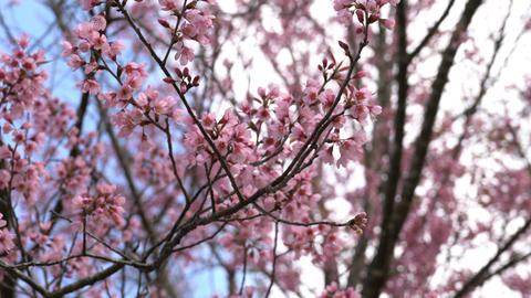Blooming Sakura cherry blossom Footage