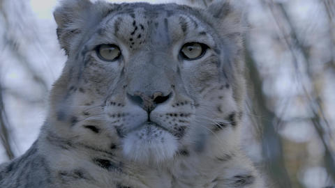 Close up from Snow Leopard head front Footage