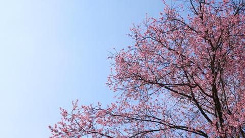 Sakura tree on blue sky with copyspace Footage