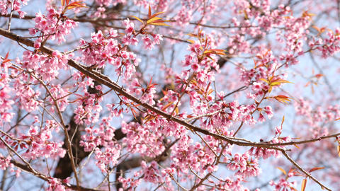 Pink Sakura flowers blossoming Footage