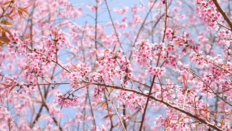 Sakura cherry blossom on blue sky Footage