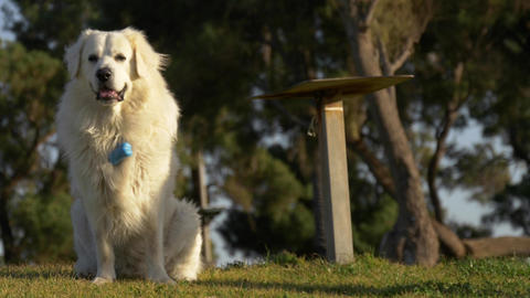 Portrait of big white dog at grass in the park with bone collar with pockets Footage