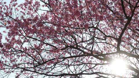 Sakura flower on tree with sunlight Live Action