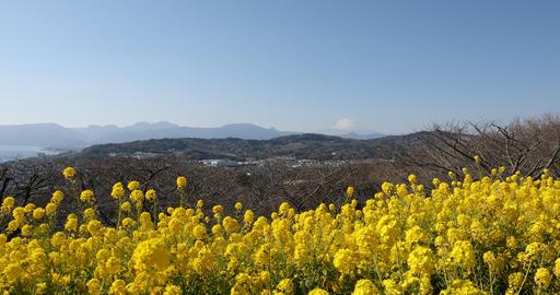 Canola flower garden at Azumayama park in Shounan Kanagawa copy space Footage