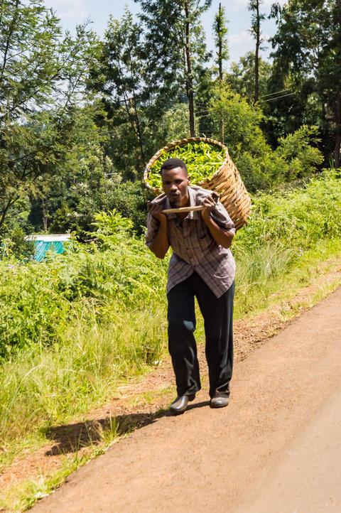 KENYA, THIKA - 03 janvier 2019 :Picking tea leaves bringing her Photo