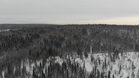 Aerial view of the taiga forests of pine trees.Siberian taiga.Winter forest with Live Action