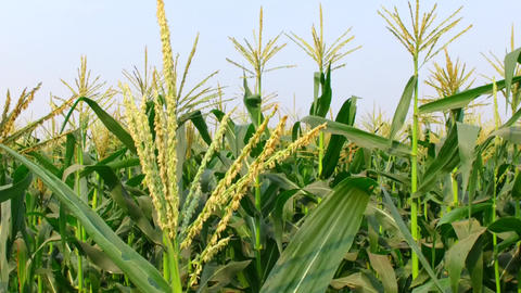 Thailand Sweetcorn Plant Plantation In Field stock footage