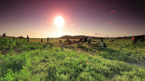 Herd of cows and goats grazing in Kenya at sunset Footage