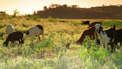 Herd of goats grazing in the grass in Kenya Footage