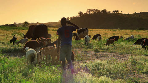 Kenyan boy herding goats turns and looks at the camera Footage