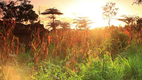 Vegetation in Kenya at sunset Footage