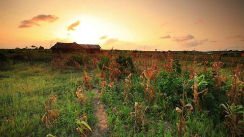 Cornfield at sunset near a village in Kenya Footage