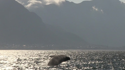 Southern Right Whale Breaching At Sunset With Mountains In Background stock footage