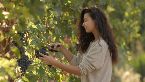 Young woman picking grapes on the vineyard during the vine harvest, on a lovely Footage