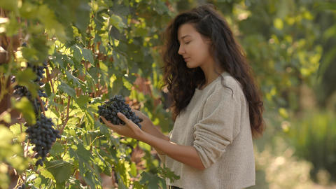 Young woman picking grapes on the vineyard during the... Stock Video Footage