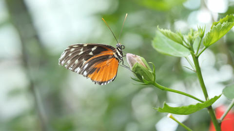 Orange, white and black butterfly sits on a flower bud, profile Footage